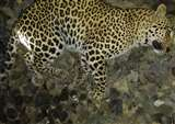 चित्रकूट में वन्य जीवों की सुरक्षा भगवान भरोसे, ट्रेन की चपेट में आने से फिर एक तेंदुआ की मौत
