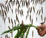 Locust Attack: पाकिस्तान के बाद अब देश के राज्यों में फसलों को नुकसान पहुंचा रहे टिड्डी दल