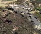 Coronavirus : गोरखपुर में 300 से अधिक चमगादड़ों की मौत, लोगों में दहशत