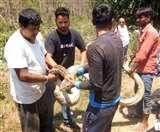 डोईवाला के ग्रामीण क्षेत्र में निकला 20 फीट लंबा अजगर, रेस्क्यू कर जंगल में छोड़ा
