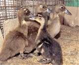 क्रास ब्रीडिंग से पैदा हुई बतख की नई प्रजाति, ये है खासियत Jamshedpur News