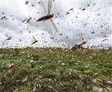 पूर्वांचल में टिड्डियों का मड़राने लगा खतरा, जिला प्रशासन फसलों को बचाने के लिए उठा रहे ठोस कदम