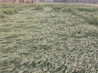 ओलावृष्टि और बारिश से बर्बाद फसल के बीमा पर संशय