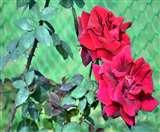 Rose Festival: खास हाेगा इस बार का राेज फेस्टिवल, फूलाें की 825 किस्में की जाएंगी प्रदर्शित