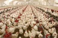 भूख से तड़प रहे ढाई लाख मुर्गों की जान खतरे में