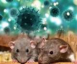 Hantavirus vs Coronavirus: जानें क्यों हंता वायरस नहीं हो सकता COVID-19 जैसा ख़तरनाक!