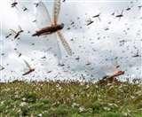 Locust Attack: टिड्डियों का रुख बदला, लेकिन खतरा नहीं टला; दो-दो हाथ करने फायर ब्रिगेड तैयार