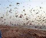 Locust Attack: UP के इस शहर पर भी हमला कर सकता है टिड्डियों का दल, ऐसे करें बचाव Gorakhpur News