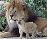 गिर के शेरों को मध्य प्रदेश भेजने वाली याचिका पर सुप्रीम कोर्ट ने केंद्र सरकार से मांगा जवाब