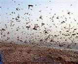 Locust Attack: टिड्डी दल के हमले में फसल चौपट होने से एक और किसान की मौत