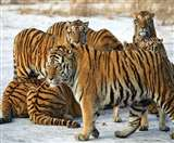 Ranthambore National Park: एक दशक में 32 बाघों के लापता होने के बाद हरकत में आई सरकार, मांगी रिपोर्ट