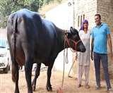 पाकिस्तान को पछाड़ विश्व रिकॉर्ड बनाने वाली भैंस 51 लाख रुपये में बिकी, खूबियां दंग कर देंगी