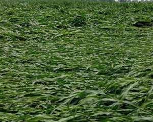 1200 किसानों की 500 हेक्टेयर मक्का बर्बाद