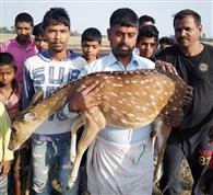 जंगल से बाहर आए हिरण को कुत्तों ने किया घायल
