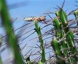 Grasshopper Attack Alert : हवा का रुख तय करेगा बरेली मंडल में टिड्डी दल का प्रवेश Bareilly News
