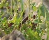 Locust Attack: कृषि विशेषज्ञाेें की किसानों को सलाह, भयभीत न हो; ये है टिड्डी दल से बचाव का तरीका