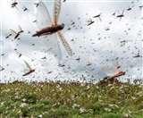 Locust Attack: क्या है टिड्डी दल, कहां से आया और कितना नुकसान पहुंचा सकता है, जानें सबकुछ
