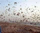 Pakistani locust : हवा के साथ रुख बदल रहा पाकिस्तानी टिड्डियों का दल, किसानों के लिए अलर्ट जारी Amroha News