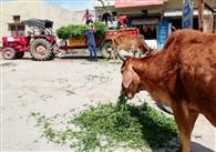लॉकडाउन में भूख से तड़प रहे पशुओं को चारा खिला रहे युवा