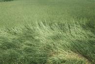 बारिश से खेतों में बिछ गई फसल, किसान मायूस