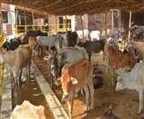 Patna Lockdown पशुपालकों पर दोहरी मार, चारे की किल्लत के बीच अब दूध के खरीदार नहीं
