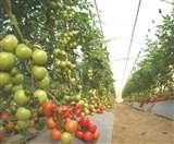 धान की खेती का मिला विकल्प, इंडो-इजराइल सब्जी उकृष्टता केंद्र की खास योजना