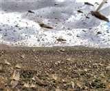 Locusts Attack : जंगली नीम छोड़ हरियाली की दुश्मन हैं टिड्डियां, कई बीमारियों की भी संवाहक