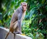Video Viral in Meerut : मेरठ मेडिकल कालेज की घोर लापरवाही, मेडिकल में बंदरों ने कोरोना मरीजों के सैंपल छीने, संक्रमण का बढ़ा खतरा