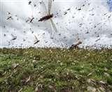 Locust Attack: अब टिड्डी के छोटे दल से होगी बड़ी परेशानी, एक दिन में 60 अंडे देती है मादा
