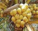 न्यूट्रीशियन की सलाह: रिफाइंड से ज्यादा फायदेमंद है नारियल का तेल, तुलसी का काढ़ा बढ़ाएगा प्रतिरोधक क्षमता Meerut News