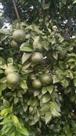 कोरोना काल में मौसमी व संतरे के भाव बढ़े