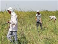 लॉकडाउन के बीच कटाई में जुटे किसान