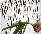 छत्तीसगढ़ पहुंचा टिड्डियों का दल, किसान परेशान; मध्य प्रदेश की सीमा से कोरिया जिले में घुसा