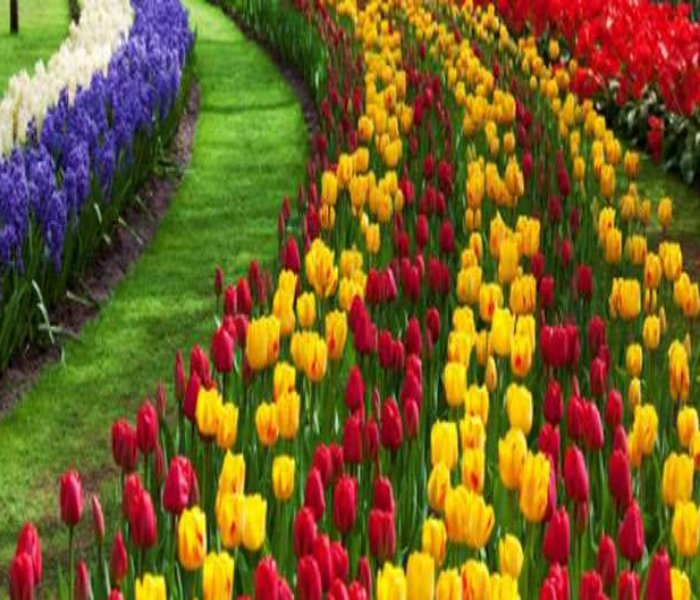 Tulip Garden in Srinagar 2021: Know the History, Opening Dates, Entry Fees, Location and How to Reach Tulip Graden