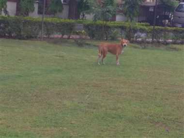 महानगर में कुत्तों का आंतक, 10 दिन में दर्जन भर लोगों को नोचा