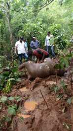 भिड़े दो टस्कर, बीच में आने से हाथी के बच्चे की मौत