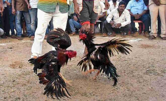 पुलिस छापे में पकड़े गए मुर्गों की कोर्ट में होगी पेशी,यहां लड़ाई के लिए ऐसे तैयार होते हैं मुर्गे