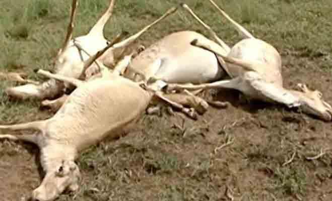 देखते ही देखते मर गए 1.5 लाख हिरण