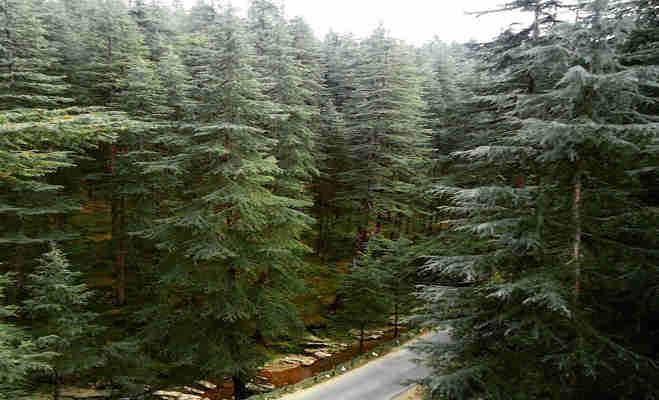 इस लकड़ी से बनेगी pm के लिए खास जैकेट,हो सकता आपके घर भी लगा हो यह पेड़