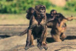 आगरा में आक्रामक बंदरों का आतंक, एक महिला की ली जान