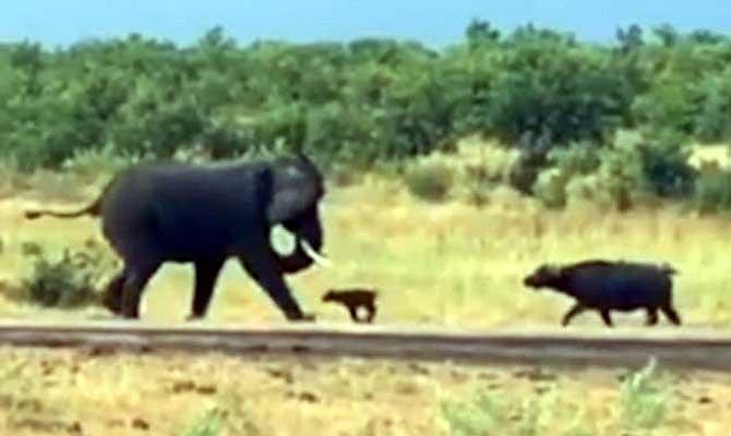 हौसला बुलंद हो तो एक बच्चा भी कर सकता है शेर की खाट खड़ी, देखें कुछ ऐसा ही नजारा