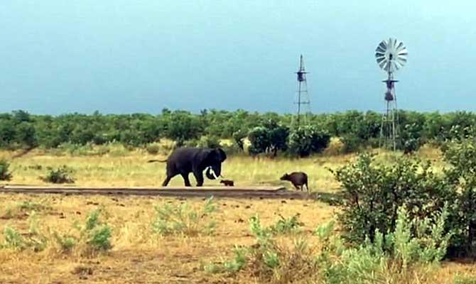 हौसला बुलंद हो तो एक बच्चा भी कर सकता है शेर की खाट खड़ी,देखें कुछ ऐसा ही नजारा