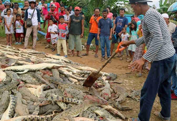 इंडोनेशिया : बदले की आग में गांववासियों ने 292 मगरमच्छों को मारा