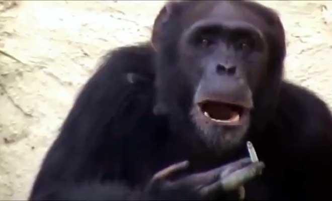 किम जोंग उन से कम नहीं है नॉर्थ कोरिया के चिंपैंजी अजीलिया की शान! हर दिन पीती है एक पैकेट सिगरेट