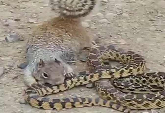 जब गिलहरी ने सांप पर किया अटैक, तो देखिए आगे हुआ क्या...