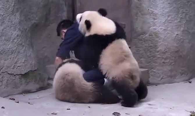 कड़वी दवा खाने में इंसान ही नहीं,सीधे साधे पांडा भी करते हैं बहुत नाटक