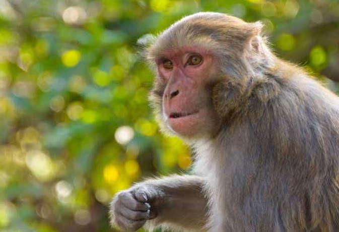 आगरा मेडिकल कॉलेज में बोले मरीज, हमारा नहीं पहले बंदरों करो इलाज