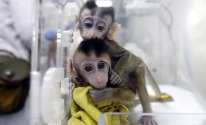 चीन में वैज्ञानिकों ने पांच बंदरों का बनाया क्लोन,मानव रोग पर करेंगे रिसर्च