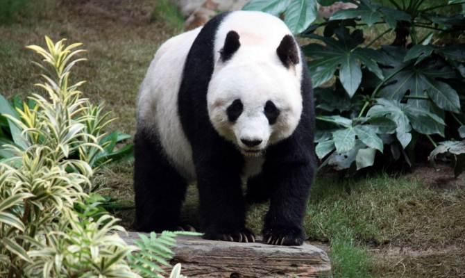 इस क्यूट पांडा को खोजने के लिए चाहिए 'बाज की नजर', है आपके पास?