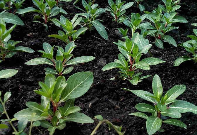 भारतीय किसान ने UAE में सबसे अधिक पौधे बांटकर बनाया वर्ल्ड रिकॉर्ड